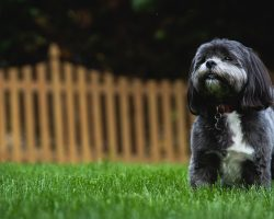 12 Realities New Shih Tzu Owners Must Learn To Accept