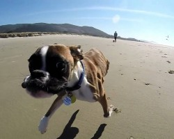 Duncan Lou Who, The Two-Legged Boxer 's First Trip to the Beach!!