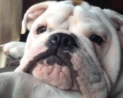 12 Realities New English Bulldog Owners Must Accept