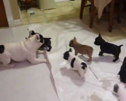 French Bulldog Daddy Playing With His Puppies Is So Playful Yet So Caring And Loving!