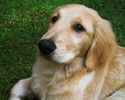 12 Realities New Golden Retriever Owners Must Accept