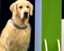 Golden Retriever Steal The Show With His Hilarious 'Obedience' Performance Fail