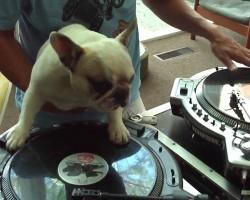 Mama the French Bulldog DJ's Got Rhythm!