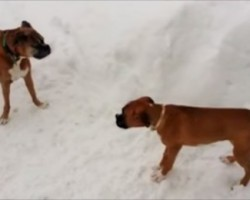 Old Boxer Dog Tricks Puppy Into Running Circles. Too Funny!