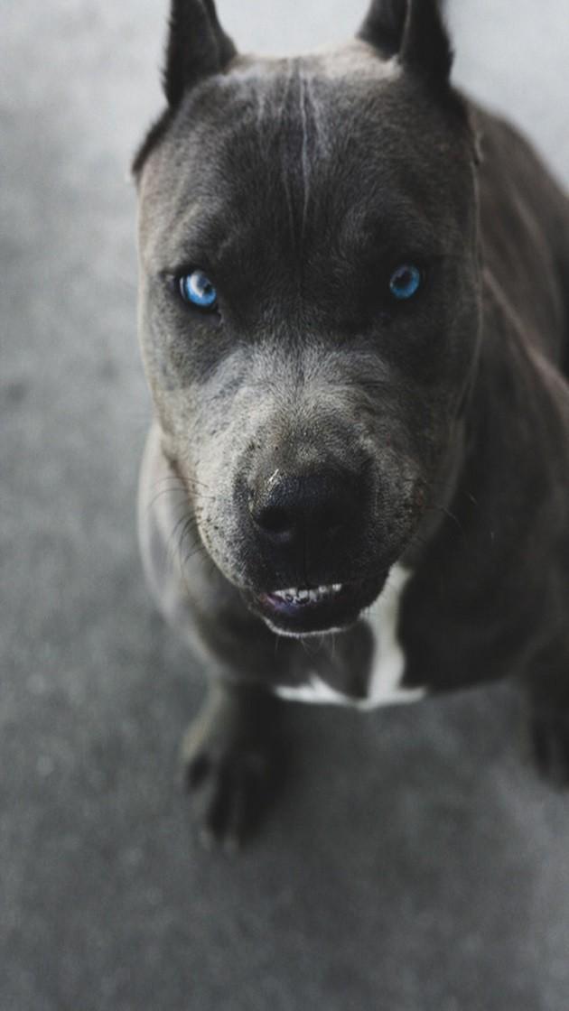 pit bull blue eyes