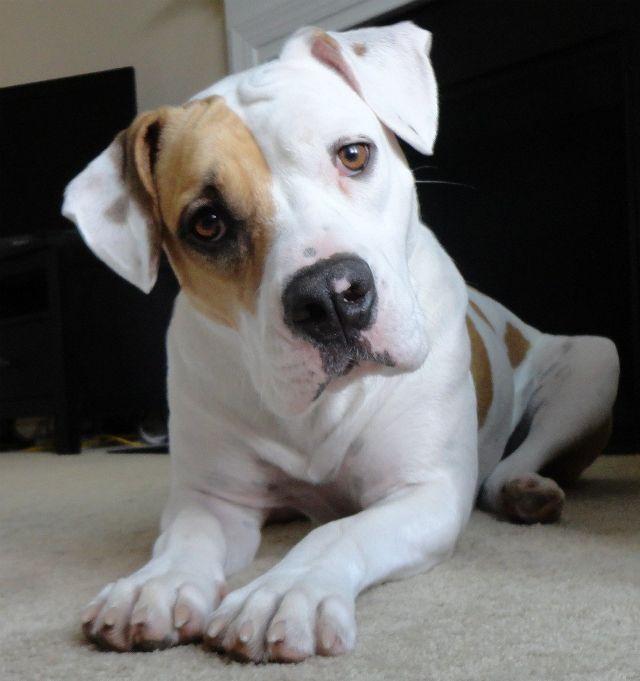 pit bull eyes dog photography