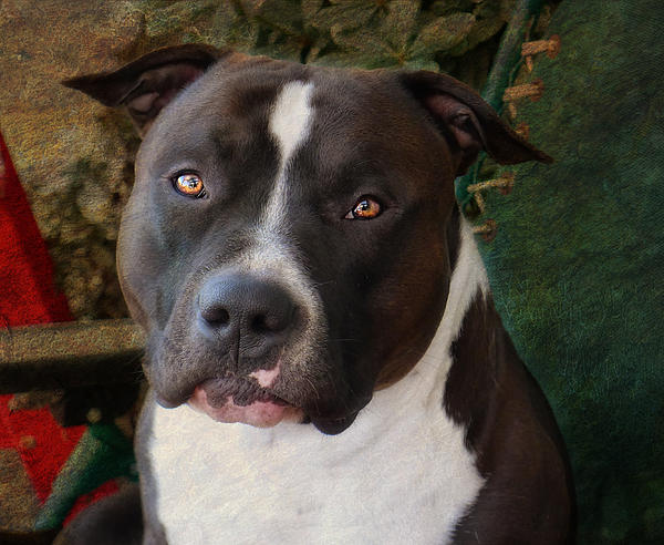 pit bull eyes face photo
