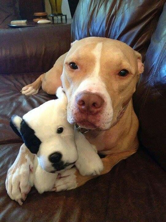 pit bull toy couch