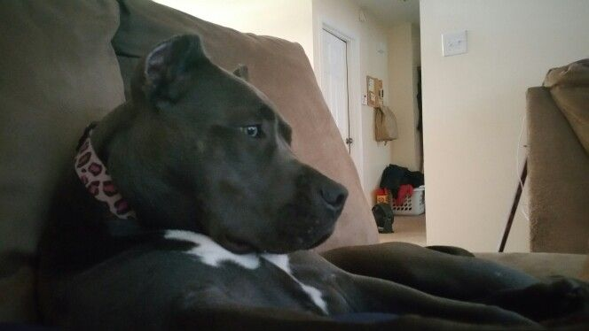 pit bull watching TV