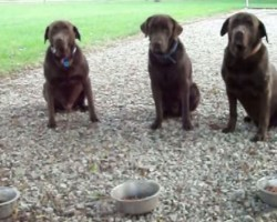 This Polite Chocolate Lab Trio Will Put A Smile On Your Face! Amen!