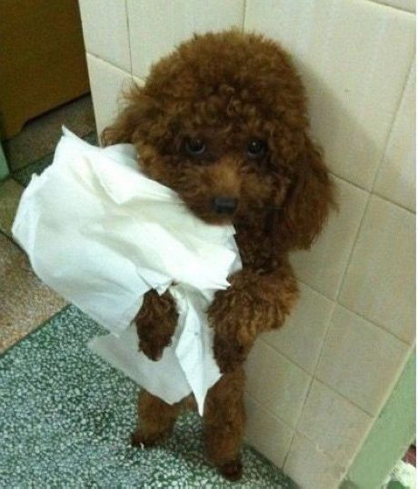 poodle funny