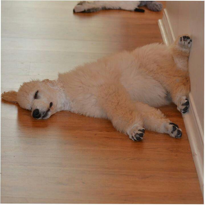 poodle rest