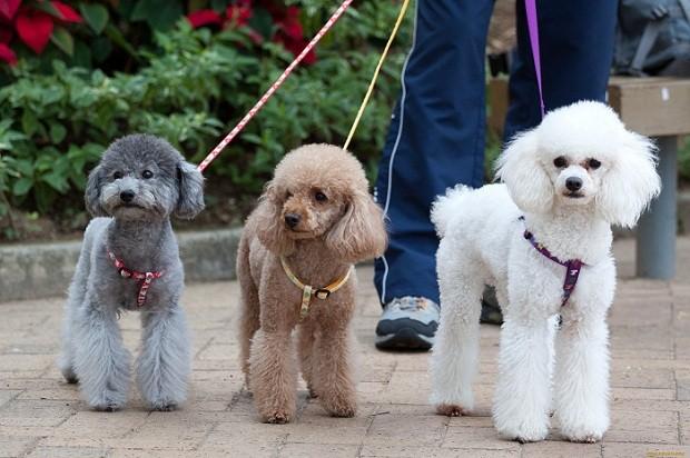 poodles walking