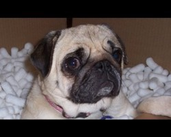 Pug Gets Scared by Fart! Her Reaction Is Priceless!