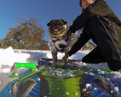 Pug Goes Snowboarding and Shows Humans How It's Done!