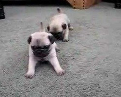 Pug Puppies 4 Weeks Old Will Melt Your Heart