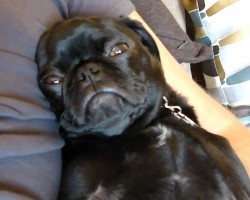 Pug Puppy's Serious Snoring + Sleeping With Eyes Open Will Make you Smile, Guaranteed!