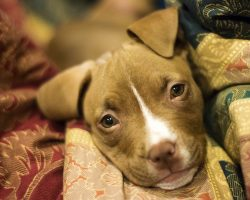 12 Realities New Pit Bull Owners Must Accept