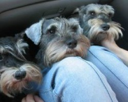 12 Realities New Schnauzer Owners Must Accept