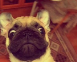 This Pug Spinning In Slow-Motion Is So. Stinkin'. Adorable.