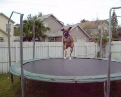 Boxer Jumps Up And Down On Trampoline Like There's No Tomorrow!
