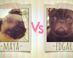 Two Adorable Pugs Confront Each Other To Determine Who The Master Is. SO CUTE & FUNNY!
