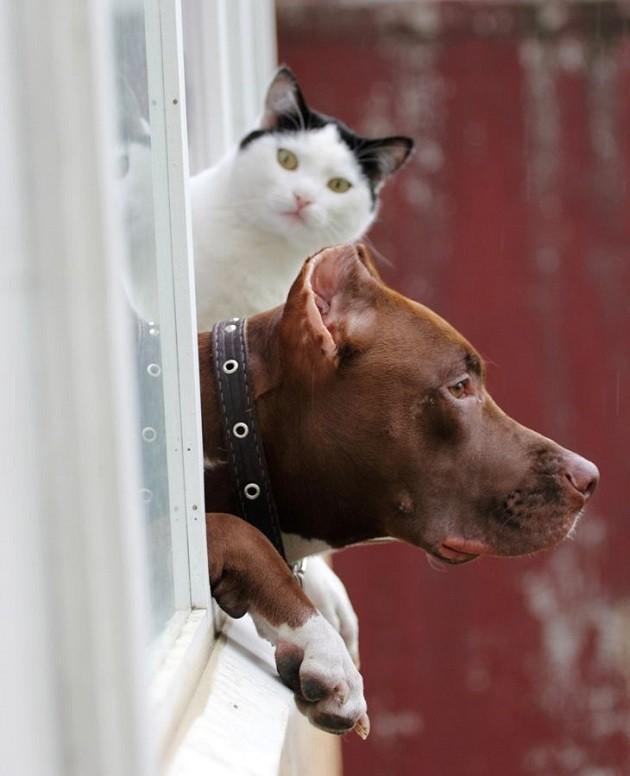 waiting pit bull cat fun
