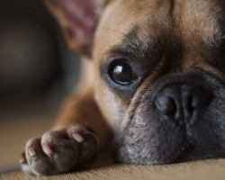 15 Signs That Indicate You're A Crazy French Bulldog Person… And Are Damn Proud of It!
