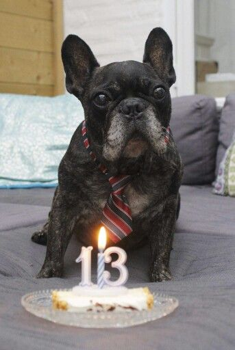 French Bulldogs senior