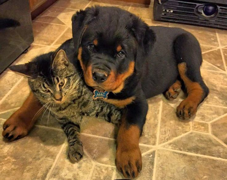 20 Things All Rottweiler Owners Must Never Forget The