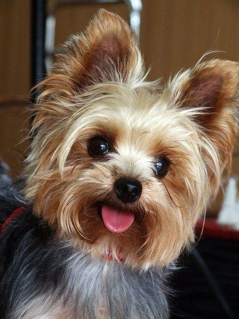 Yorkshire Terrier dog