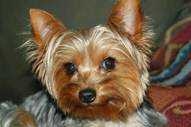 Yorkshire-Terrier-eyes.jpg