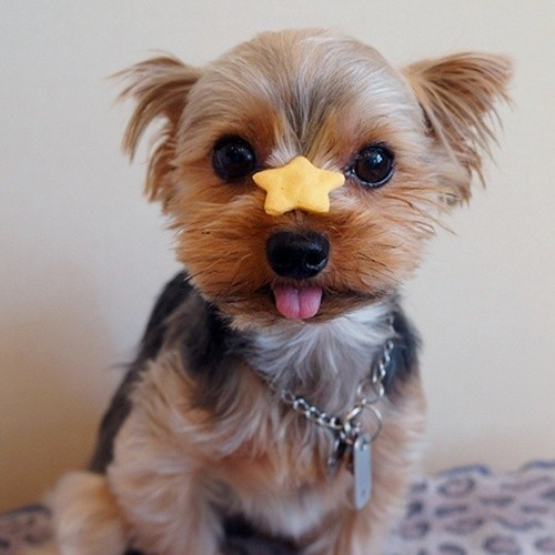 Yorkshire Terrier funny