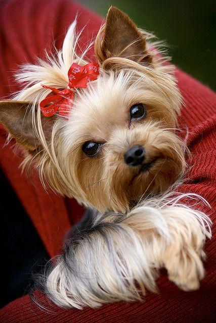 Yorkshire Terrier looking