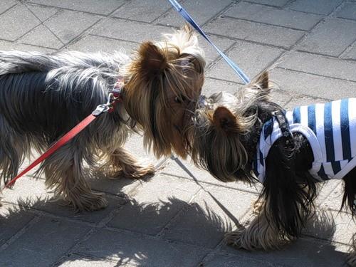 Yorkshire Terriers friends