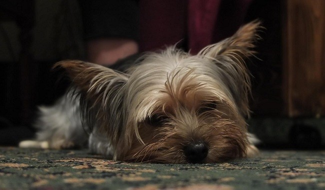 Yorkshire Terriers rest
