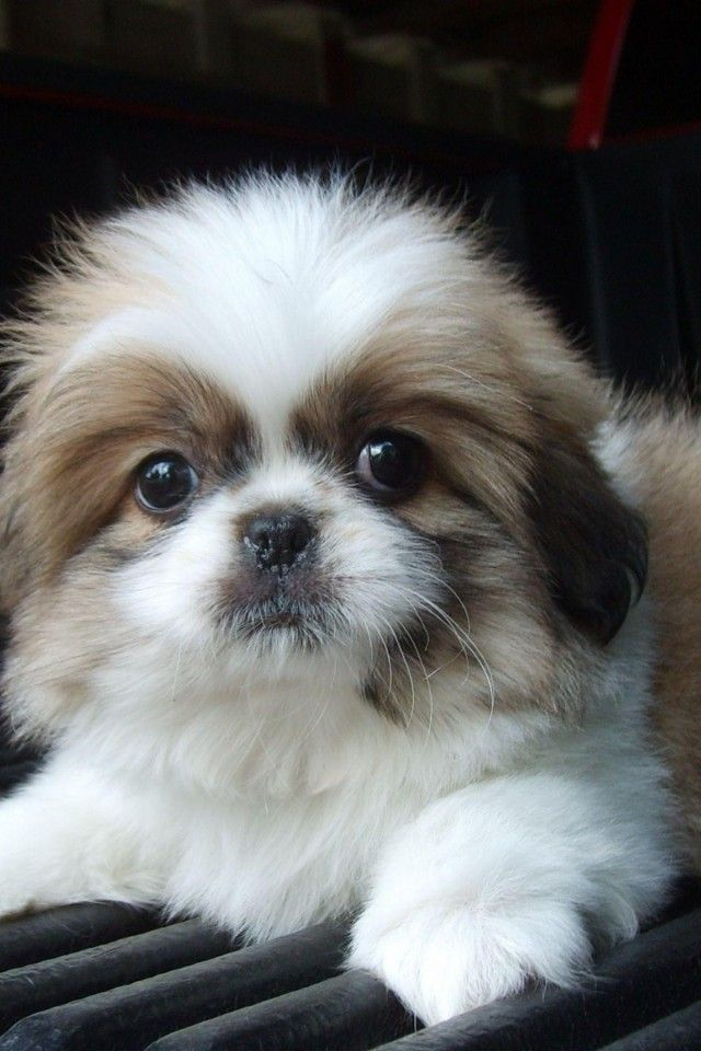 pekingese and shih tzu 20 things all shih tzu owners must never forget the last 7156