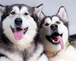 15 Signs That Indicate You're A Crazy Husky Person… And Are Damn Proud of It!