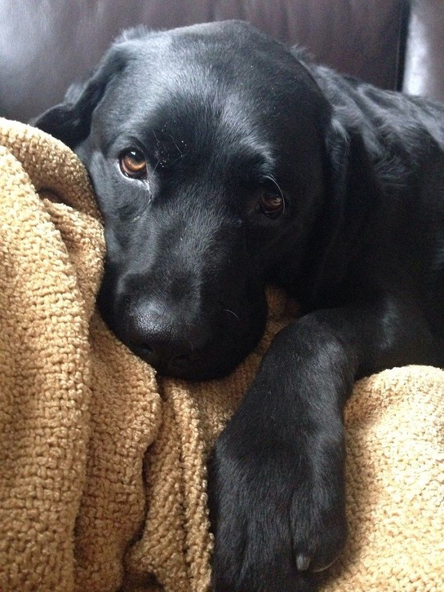 black lab dog face eyes pics