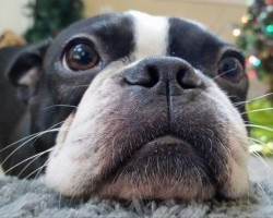 15 Signs That Indicate You're A Crazy Boston Terrier Person… And Are Damn Proud of It!