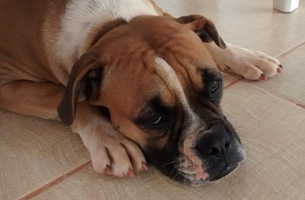 boxer-dog-on-floor.jpg