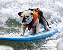 Surfin´ Bulldog (Beach Boys – Surfin´ USA)