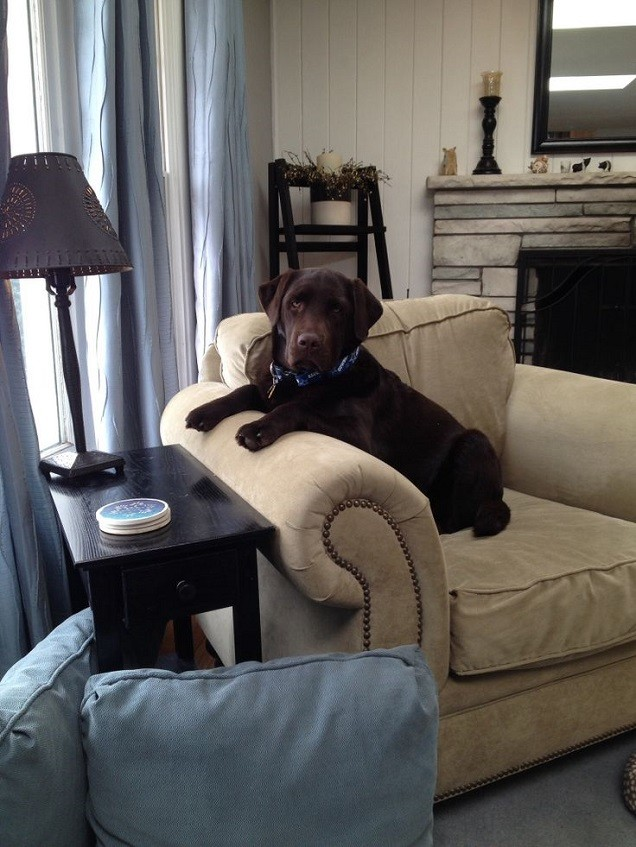 chocolate labrador sitting arm chair