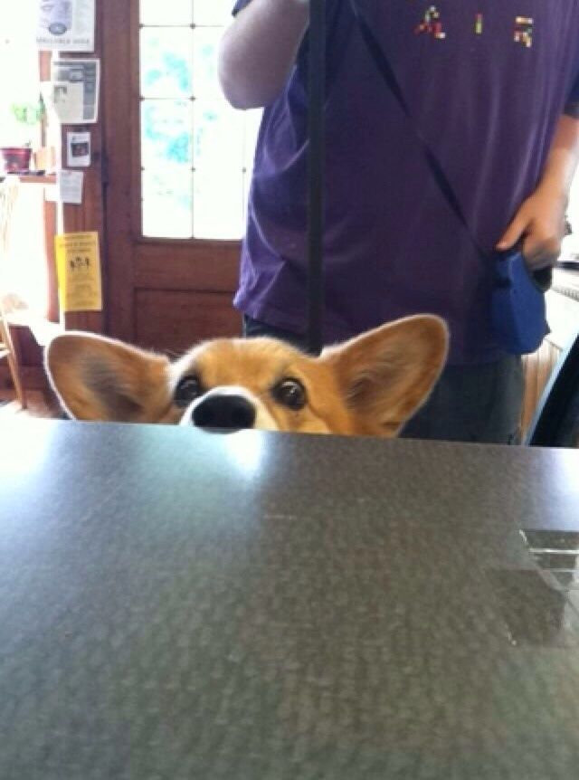 corgi eyes begging table