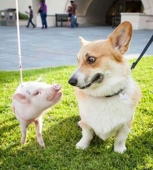 corgi pig funny friends