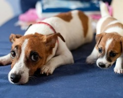 20 Things All Jack Russell Owners Must Never Forget