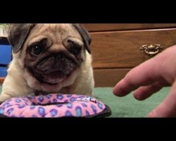 Cute Pug Defends Her New Toy