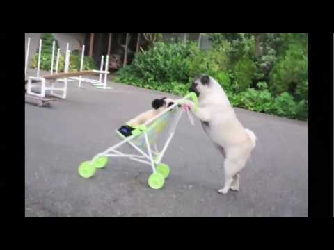 Jenny The Pug Puppy Pushes Baby Stroller And Skateboards