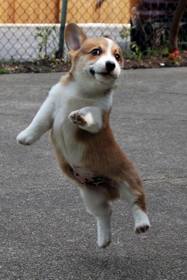 jumping corgi pics puppy