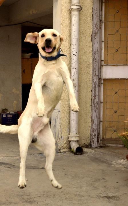 jumping labrador pics amazing